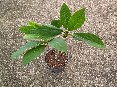 Plumeria hawaiian 60cm