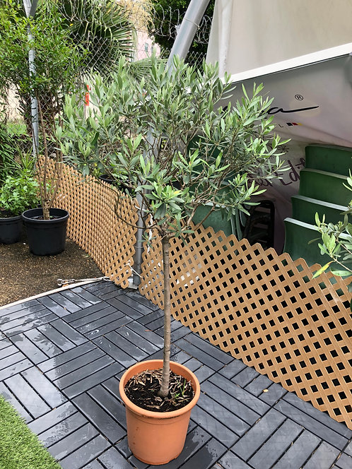 Olive tree (Outdoor plant) 1.6M
