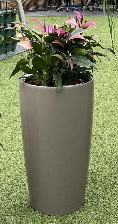 Anthurium a.zizou 83 cm