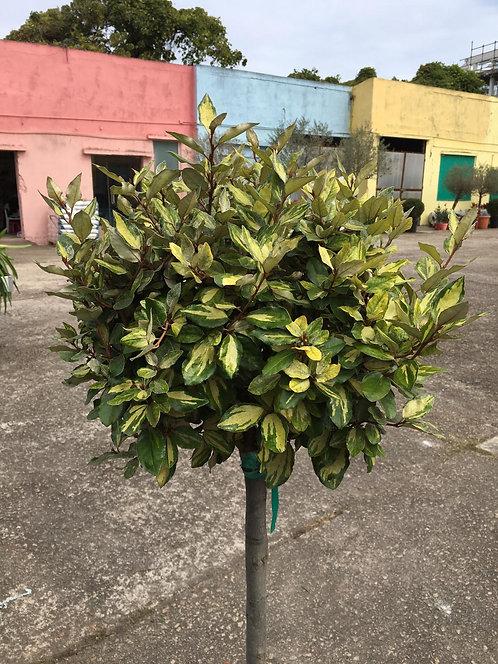 Elaeagnus (Limelight)