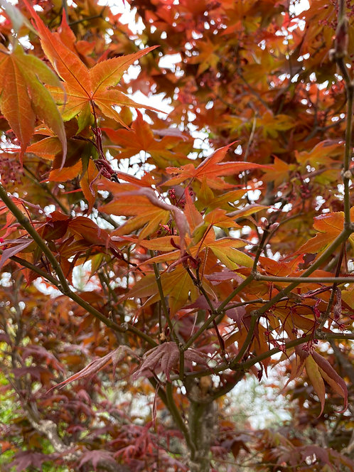 Acer Palmatum bloodgood 175-200cm