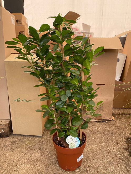 Ficus moclame rek 90 cm