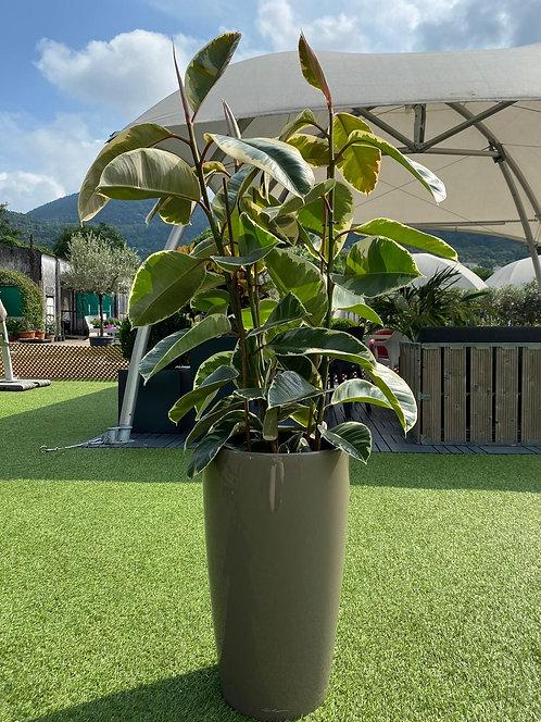 Ficus Elastica Tineke 140 cm