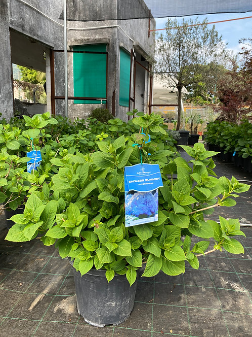 Hydrangea  (endless summer) 70-80cm