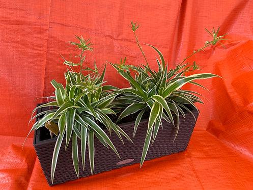 Chlorophytum Balconera Cottage 50