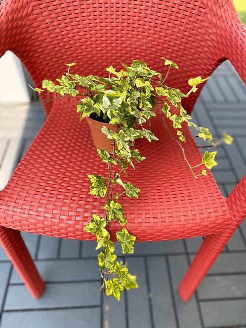 Ivy 12cm pot width