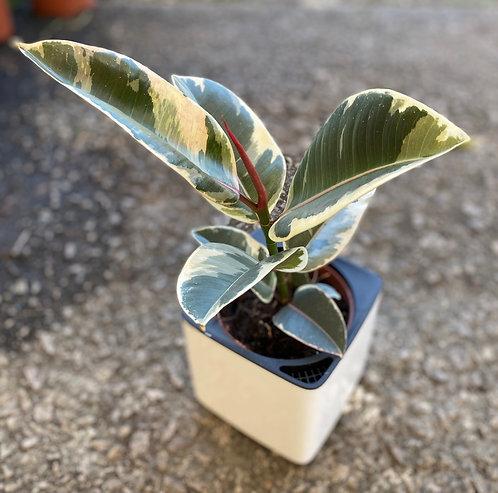Ficus elastica tineke 40 cm CUBE glossy 14
