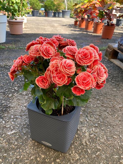 Begonia 38 cm