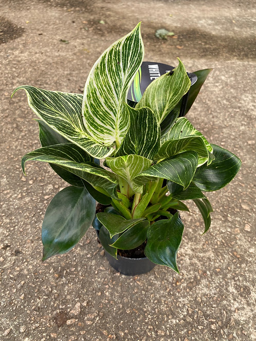 Philodendron variegata 20cm