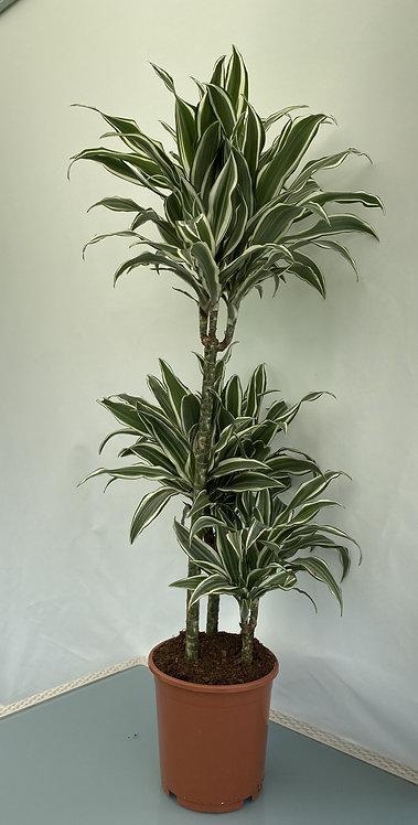 Dracaena fr.comp. white jewel 90cm