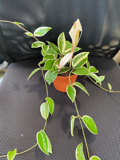 Hoya 12cm pot width