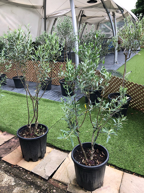 Olive tree (Outdoor plant) 1.3M