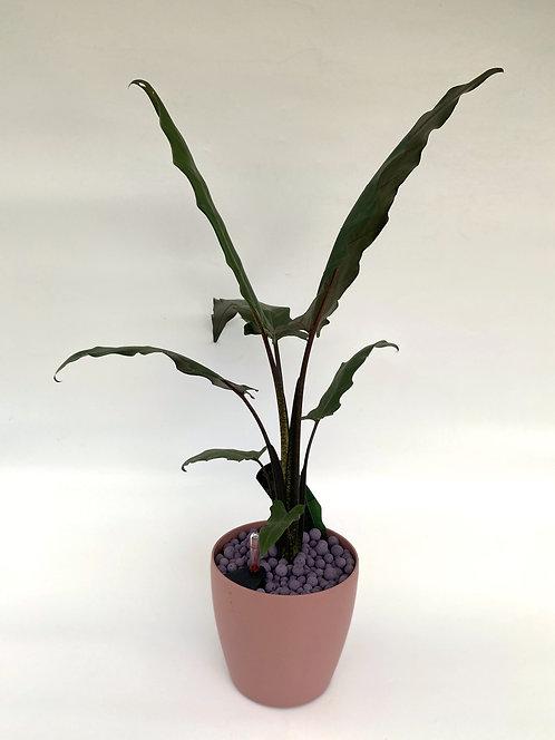 Alocasia Lauterbachiana 78cm