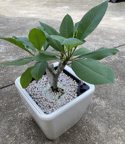 Plumeria Quadro 35 65cm