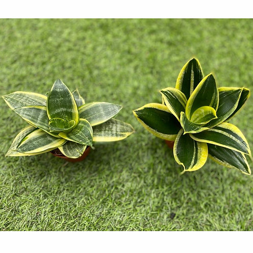 Sansevieria trifasciata 6cm pot width