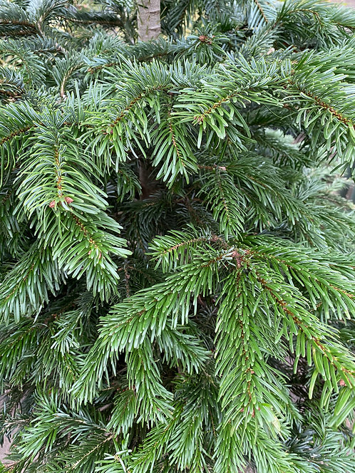 Christmas tree - Picea abies 204 cm