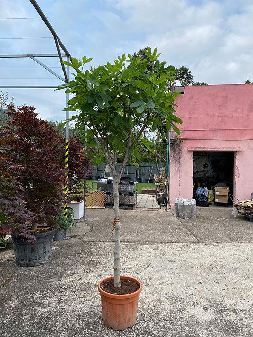 Ficus carica  Clt 35