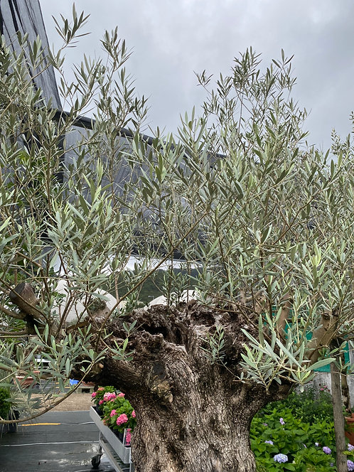 Olive tree from Italy