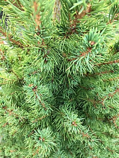 Christmas trees from Europe 1.JPG