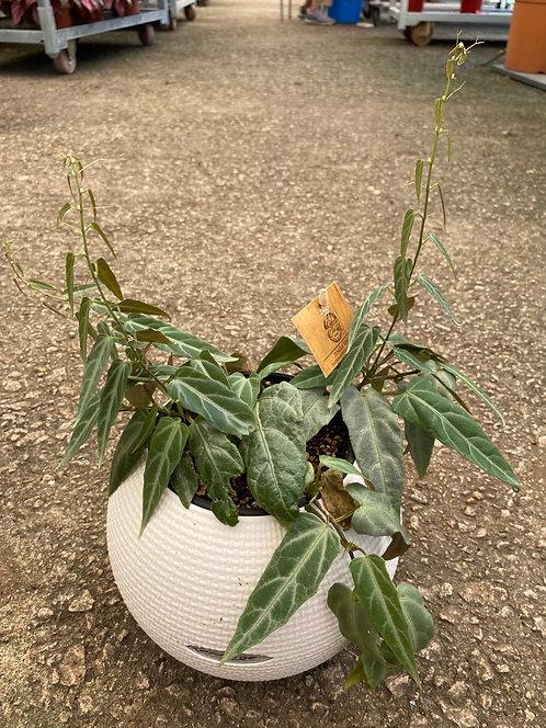 Parthenocissus Overig Amazonica Puro Color 20