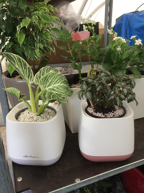 Pilea silver & Philodendron (house plant) Yula