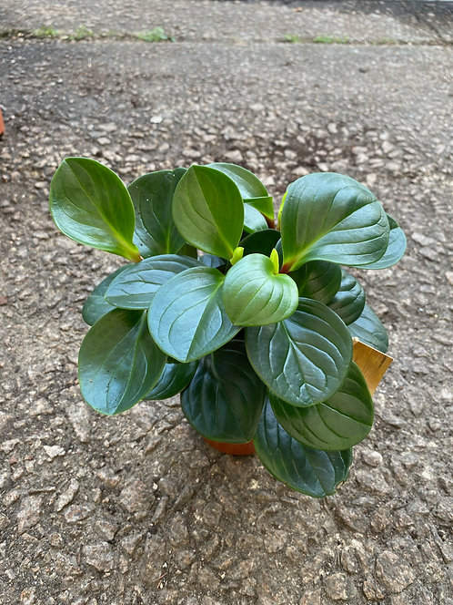Peperomia Red Canyon