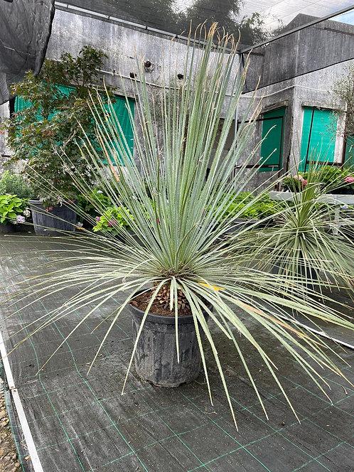 Dasylirion Serratifolium 140cm