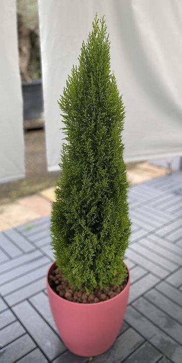Cupressus 108cm