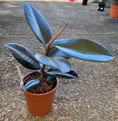 Ficus Elastica 50 cm