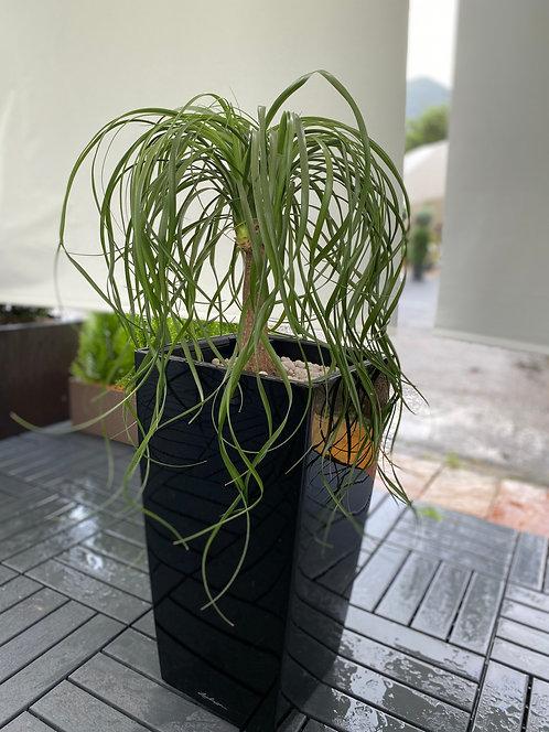 Beaucaenea Recurvata