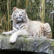 zoo-asson-tigre-c.jpg