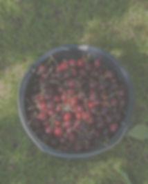 Kirsebær.jpg