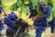 Bordeaux Wine viticulture