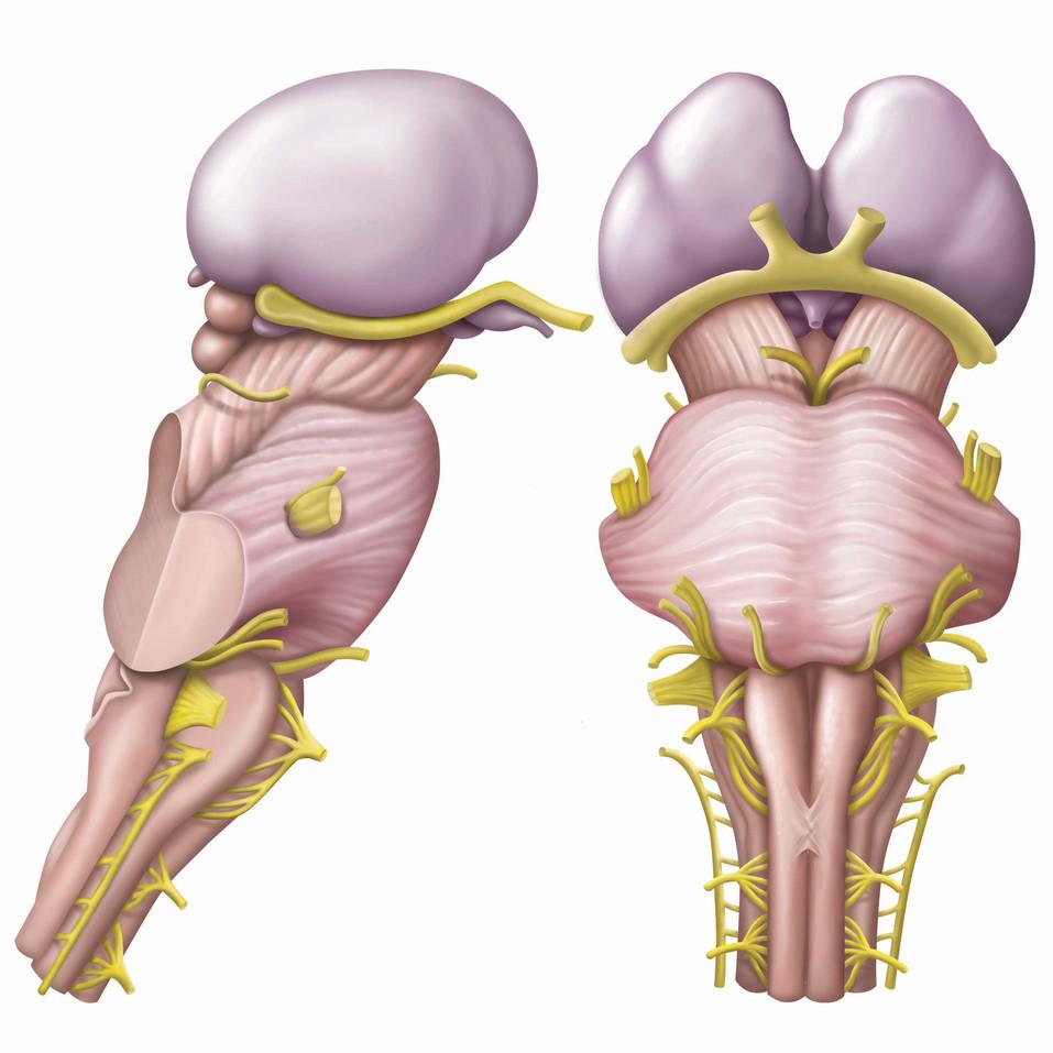 Brainstem & Thalamus