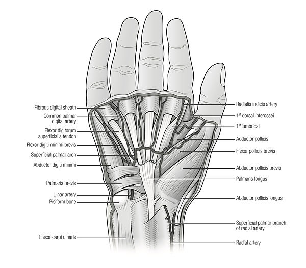 illustration of muscles and arteries of the hand