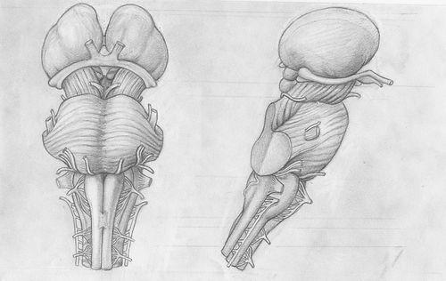 sketch of brainstem and thalamus