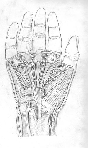 sketch of muscles and arteries of the hand