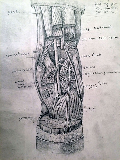 sketch of popliteal fossa based on Grants