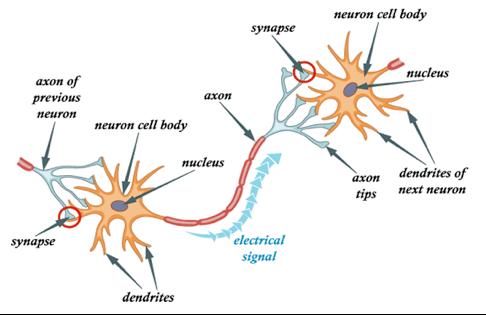 Typical Brain Neuron