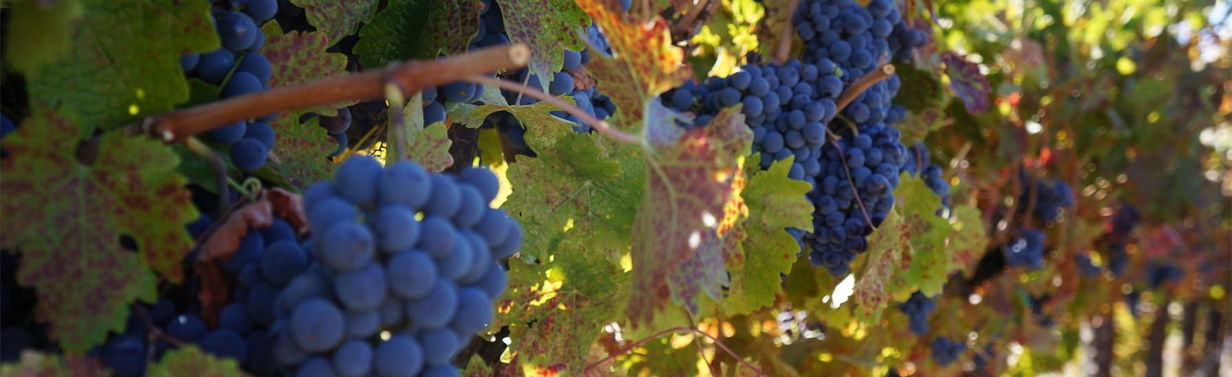 Grapes panel