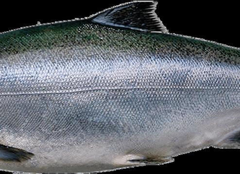 New zealand king salmon