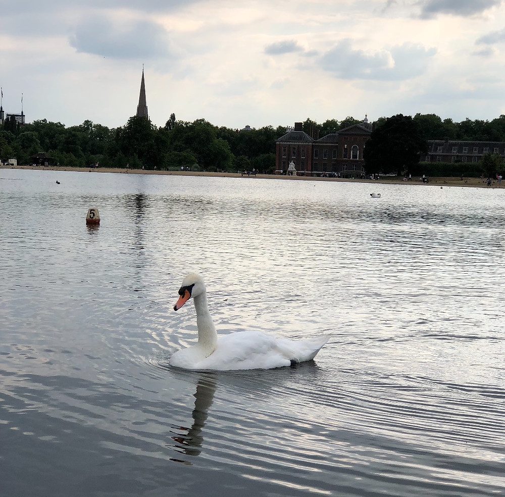 Swan, London, England, Lake, Kensington Palace