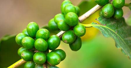 cafe-verde.jpg