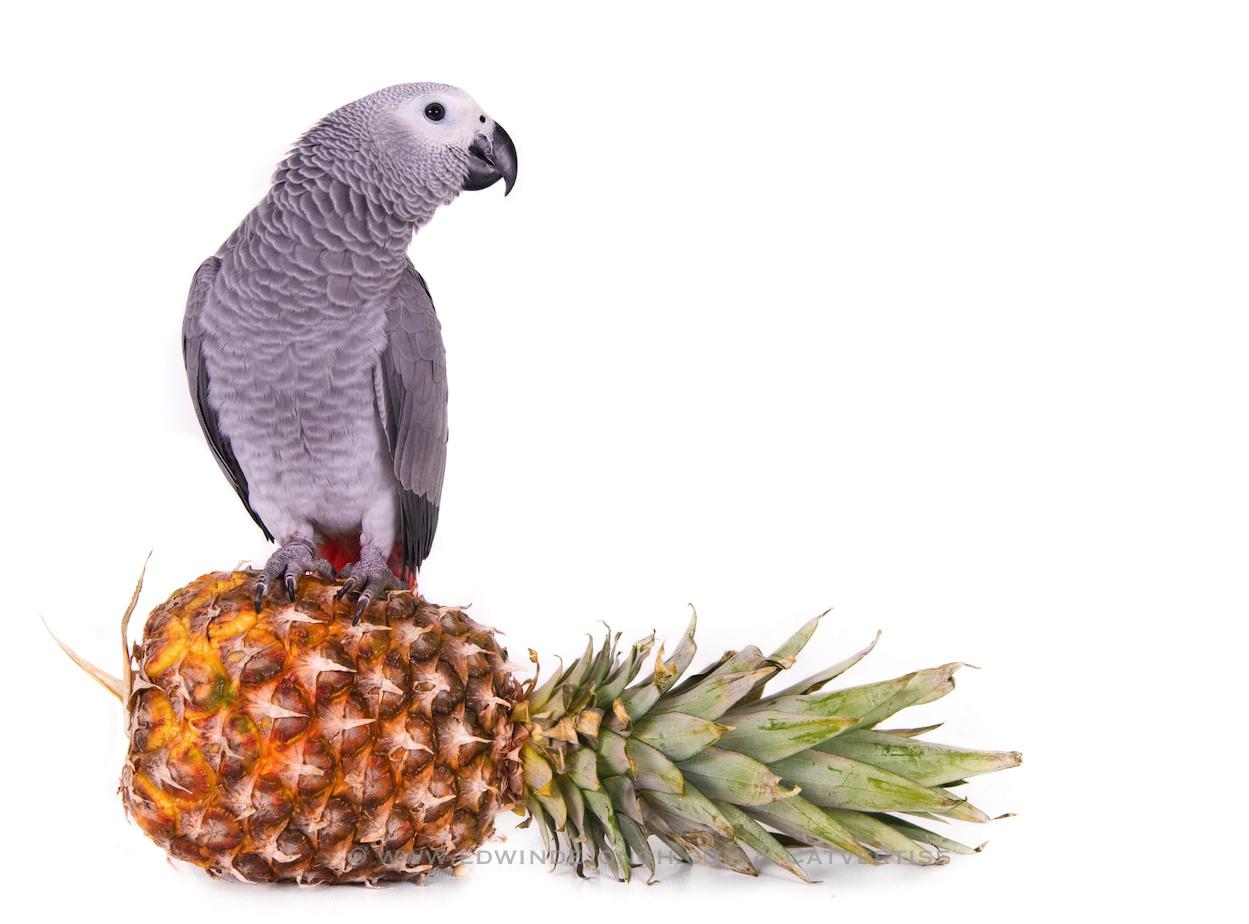 Zenzi (African Grey Parrot)