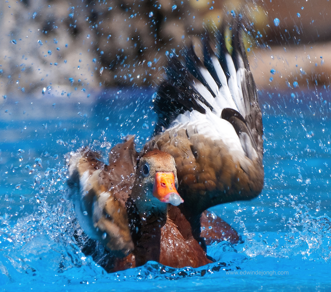 Splashing Duck (Nicaragua)