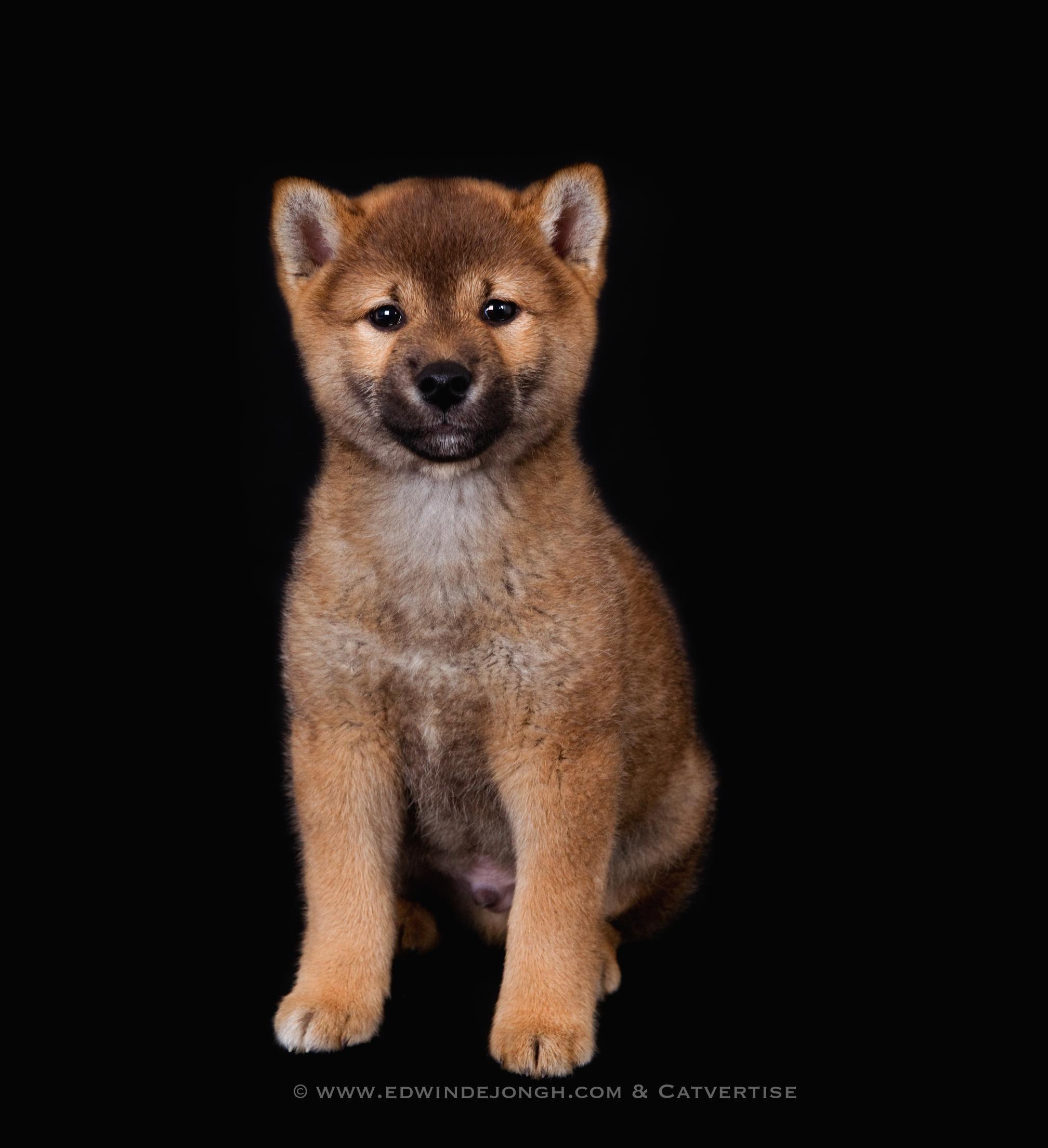 Benji (Akita pup)
