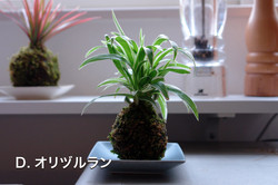 D.オリヅルラン.JPG