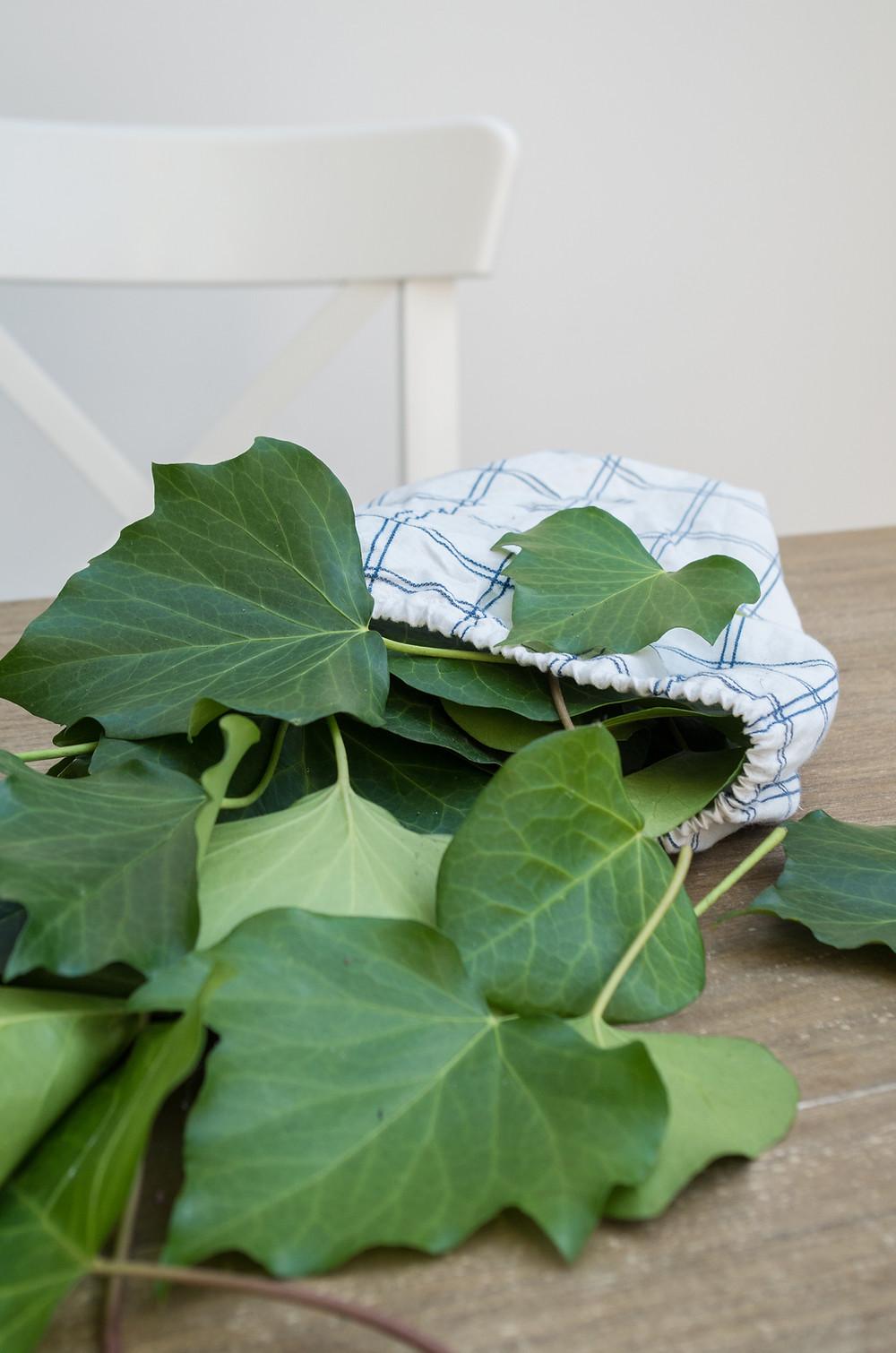 Feuilles de lierre fraîchement récoltées pour fabriquer de la lessive écologique et presque gratuite