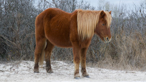 Visiting Assateague Island and Seeing the Wild Horses In Winter