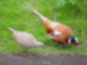 Power Animal Pheasant - hOIListically forward